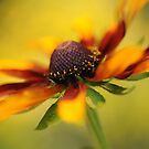 Rudbeckia dream by Jacky Parker