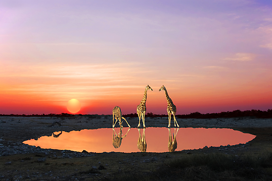 SUNSET WITH GIRAFFES 2 by Michael Sheridan