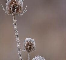 Teasles in frost by Ashley Beolens