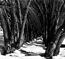 Willow Walk by Marcelene McCowan