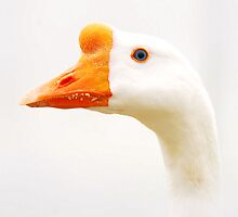 Ugly Duckling  by PamelaJoPhoto