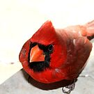 Red Cardinal (Featured) Texas Group by Cheyenne