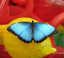 Common Blue Morph on a Red Glass Sculpture by SteveLambert