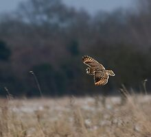 Short eared owl 2 by Ashley Crombet-Beolens