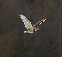 Short eared owl 3 by Ashley Beolens