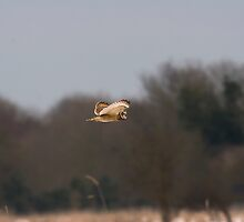 Short eared owl 5 by Ashley Crombet-Beolens