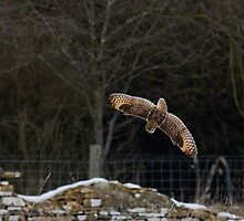 Short eared owl 6 by Ashley Crombet-Beolens