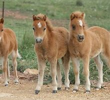 Chestnut Miniature Horse Foals by Leanne Williams