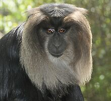 Lion-Tailed Macaque X by Tom Newman