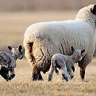 Spring Lamb by Bill Miller