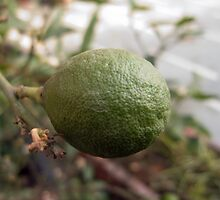 Close up of a lemon that is still growing by ashishagarwal74