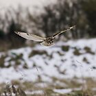 Short eared owl 8 by Ashley Beolens