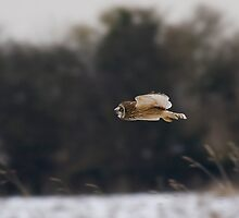 Short eared owl 9 by Ashley Crombet-Beolens