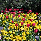 Tulips On Display by George Cousins