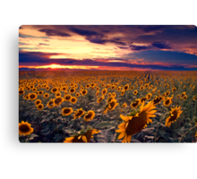 Sunflowers and Colorado Sunsets  Canvas Print