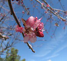 ornamental cherry tree bloom by tomcat2170