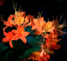 Flame Azalea  by Mountainimage