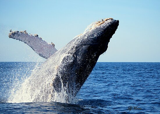 A breaching Whale by LjMaxx