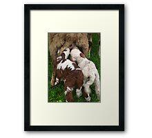 Suckling Lambs Framed Print