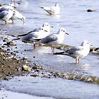 Seagulls by AngelaFoster