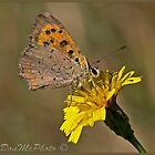 Small Copper Butterfly (Lycaena phlaeas) (II) by DonMc