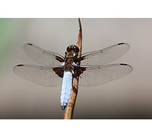 Broad bodied chaser male (Libellula depressa) Photographic Print