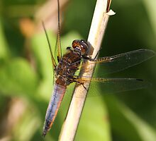 Scarce Chaser immature male,colour changing. (Libellula fulva) by DragonflyHunter