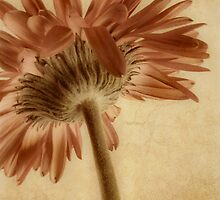 Gerbera  by AnaCBStudio