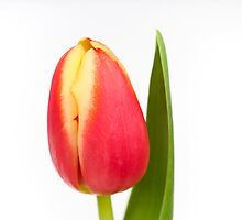Single red and yellow tulip by Ashley Crombet-Beolens