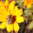 Honeybee on a Coreopsis Flower by Laurel Talabere