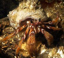 Hermit Crab by Greg Amptman