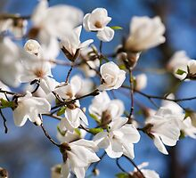 White Magnolia spring flowers bunch by Arletta Cwalina