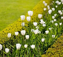 White tulips in buxus arrangement by Arletta Cwalina