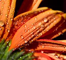 Orange sundrops. by Sherstin Schwartz