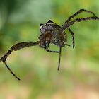 Flying spider by Josie Jackson