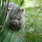 Wombat at Cradle Mountain by Madonna McKenna