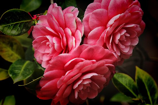 Camellias by Barbara  Brown