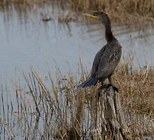 Great Cormorant by Natures Vision