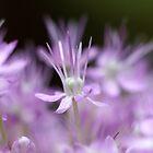 Allium flower by Damie-anne