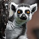 Ring-tailed Lemur #2 by Larrikin  Photography