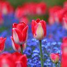 Tulips by Tim Yuan