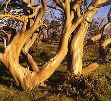Alpine Golden Snowgum2 by Speedy