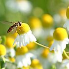 Hover fly on camomile by Stefanie Köppler