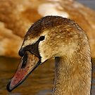 Redfield Cygnet by Trevor Kersley
