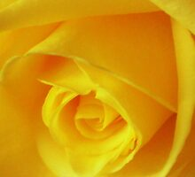 A Yellow Rose 1 by scmartin