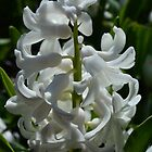 Spring white hyacinth flowers and green leaves. Floral garden photo. by naturematters
