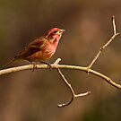 PURPLE FINCH by Sandy Stewart