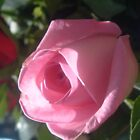 rose by sneha