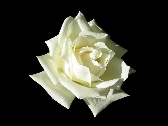 White Rose by ljm000