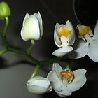 Tiny Orchids by shiraz